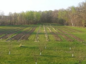 Veggie Rows Tilled